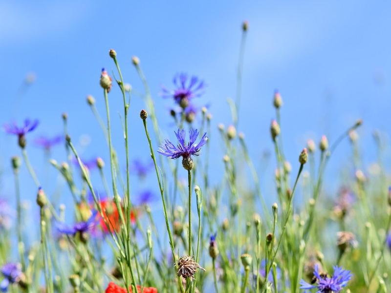 alpine-cornflower-3440640_1280