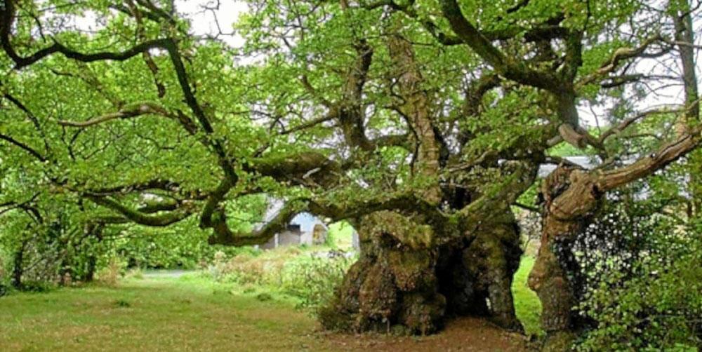 arbres-remarquables-bretagne
