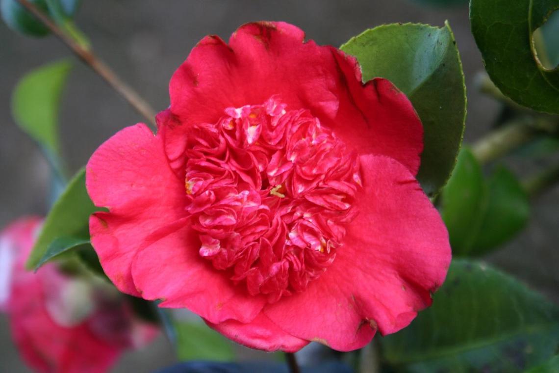 camellia-japonica-anemoniflora-5