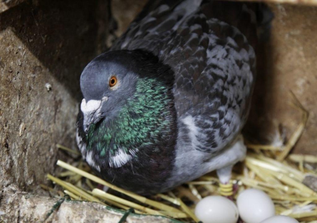 les-pigeonnaux-du-stade-champigne-49-deg