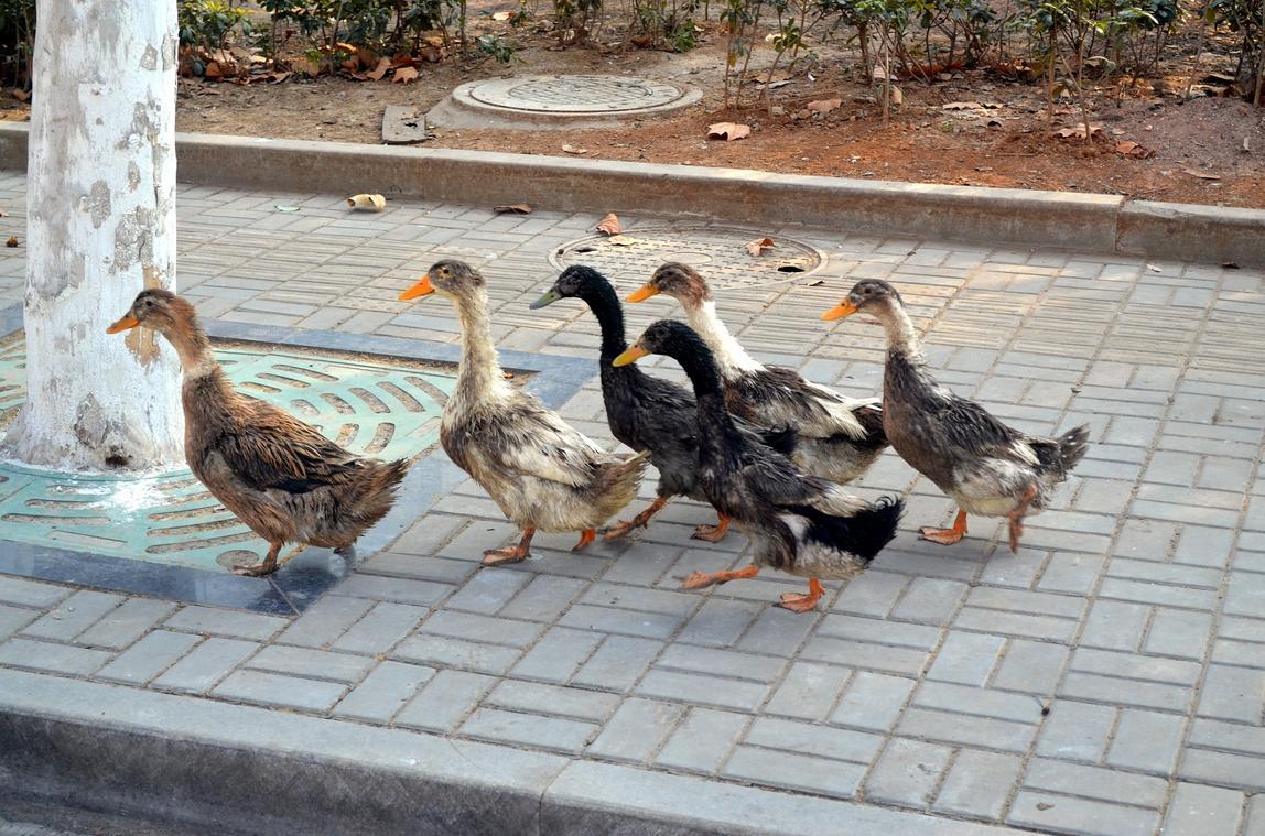 duck-21262_1920