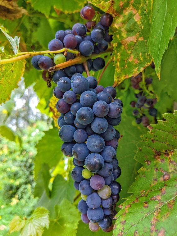 grapes-5530734_1920