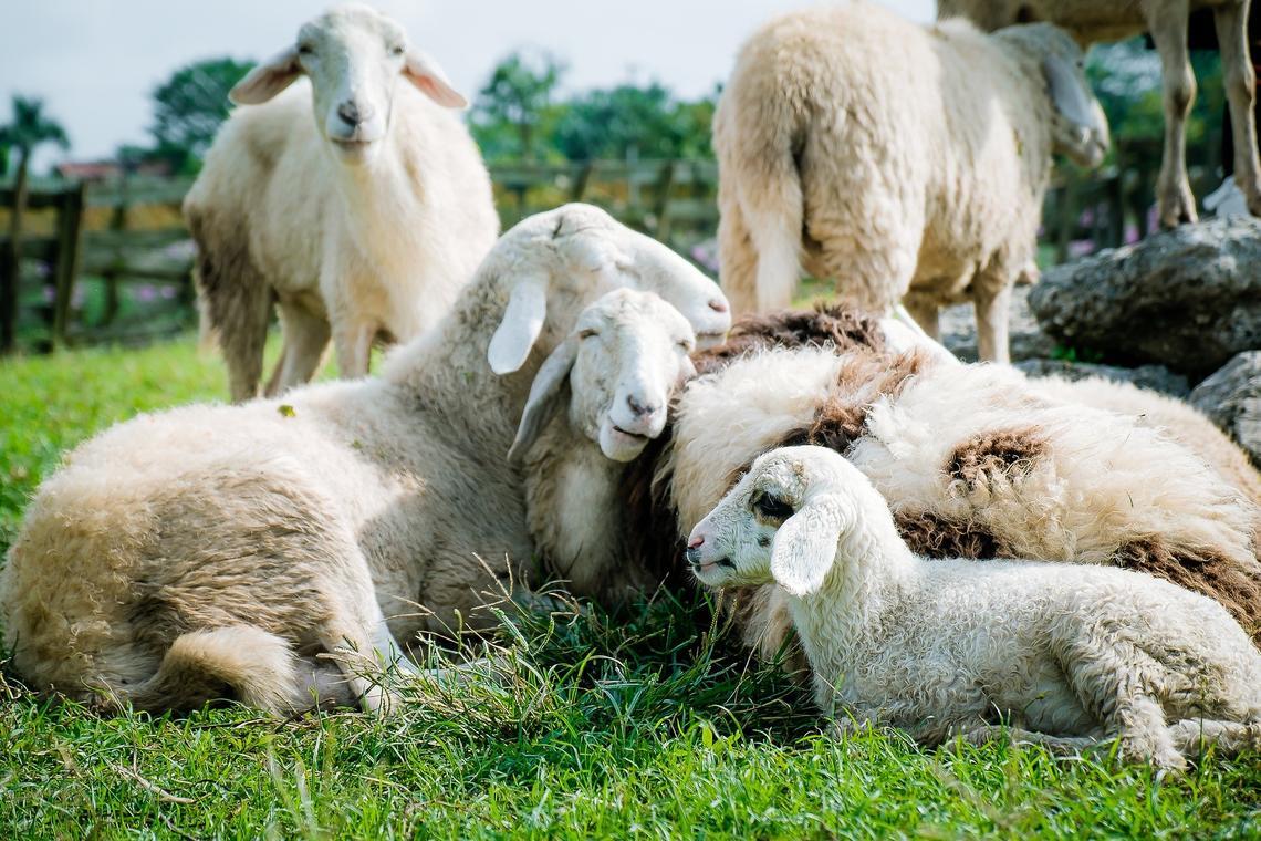 moutons @ Dinh Khoi Nguyen de Pixabay