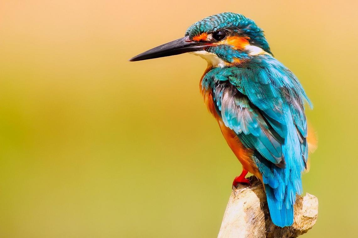 kingfisher-2046453_1920