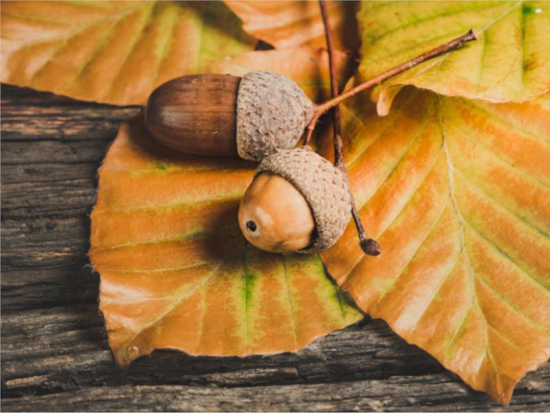 acorns-800x600
