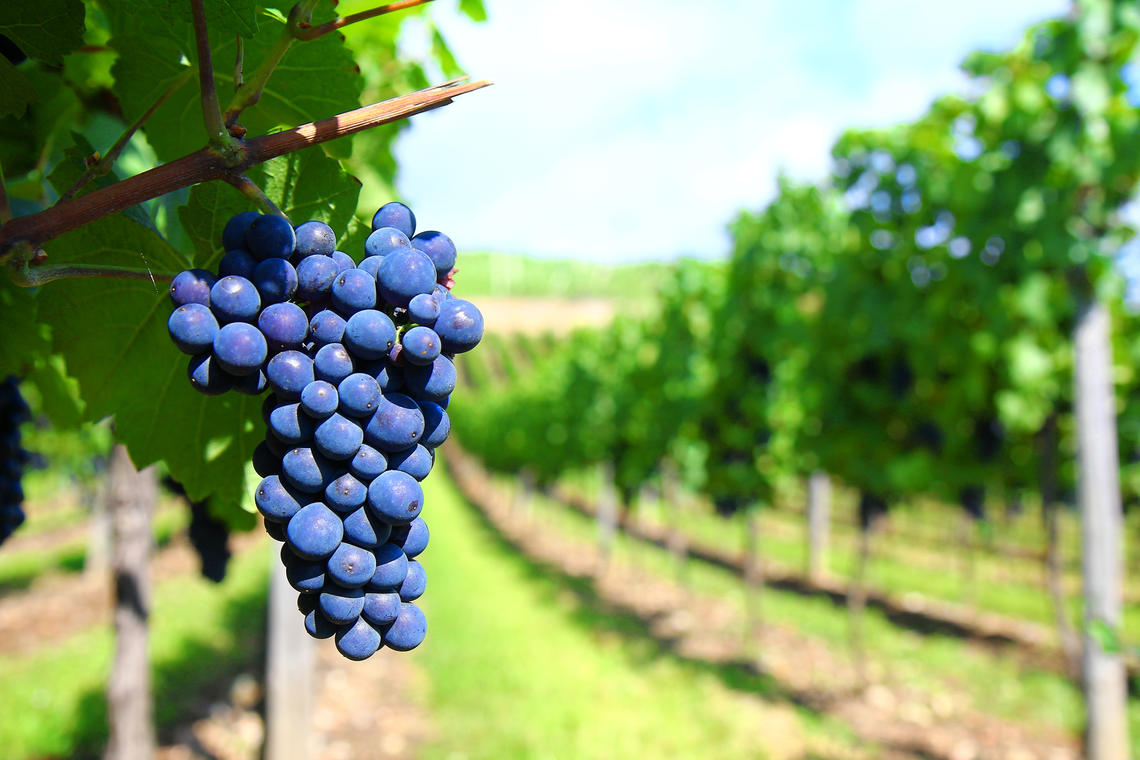 Raisin vigne rang © freeimages