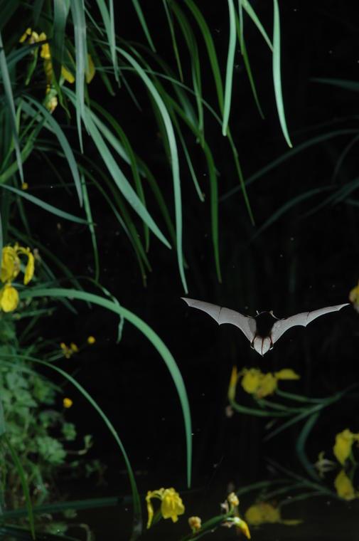 Nuit européenne de la Chauve-souris - Musée de Préhistoire Grottes de Saulges