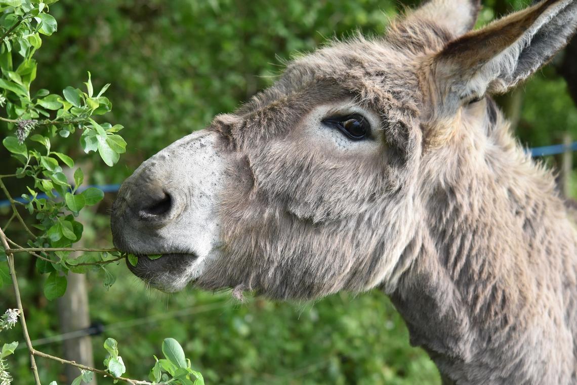 Balade à dos d'âne - Laval
