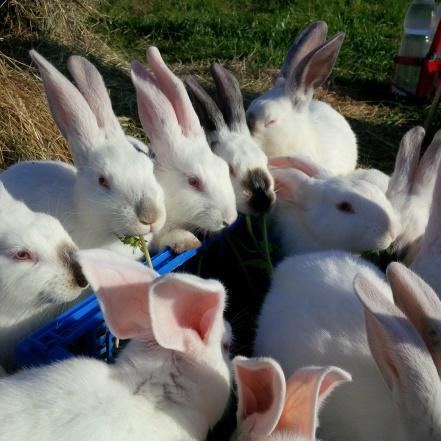 Elevage de lapins BIO