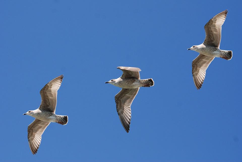 gulls-343235_960_720