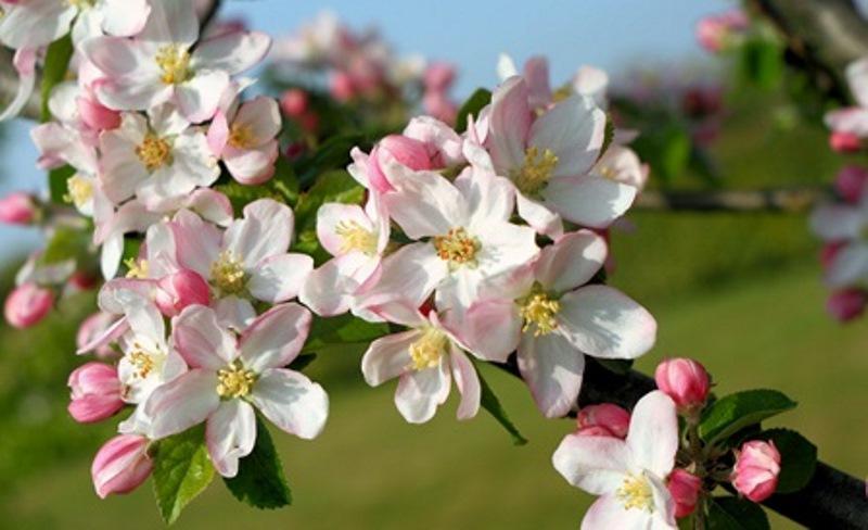 Fleurs_Cerisiers