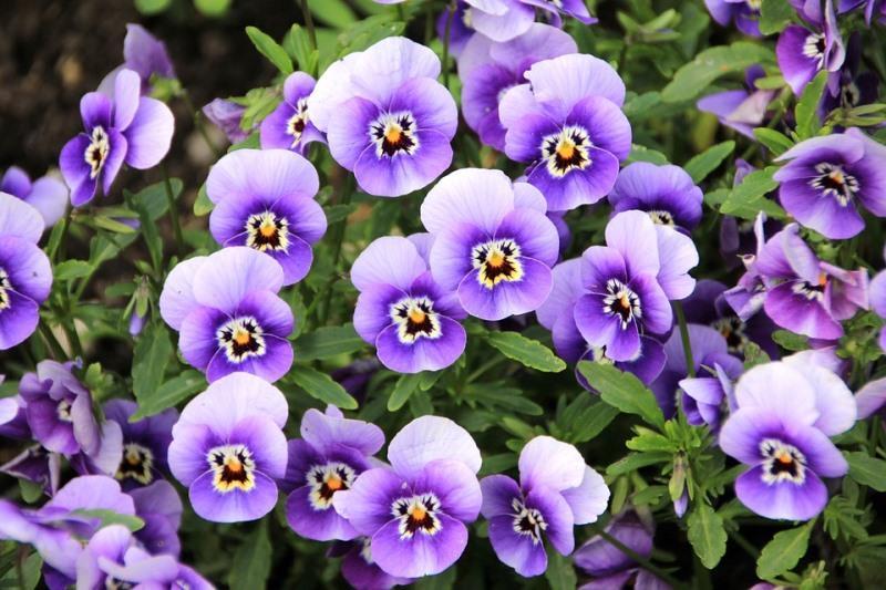Fleurs_Violette