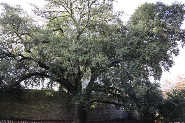 chêne vert, parc du tribunal Lannion ©Ouest-France