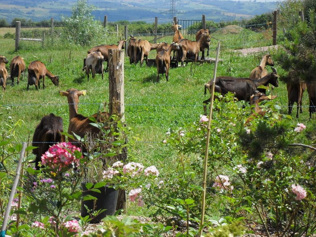Nos chèvres dans les pâturages.