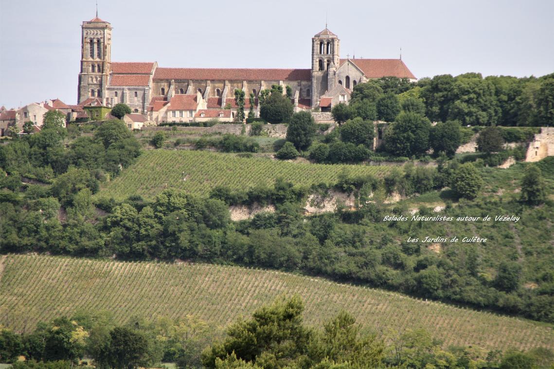 Vignes de Vézelay