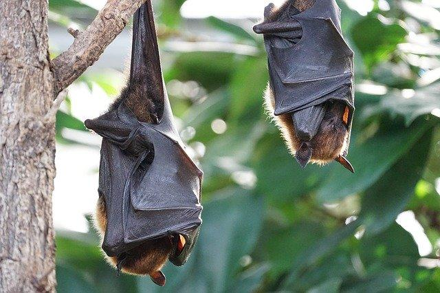 flying-foxes-2237209-640_1