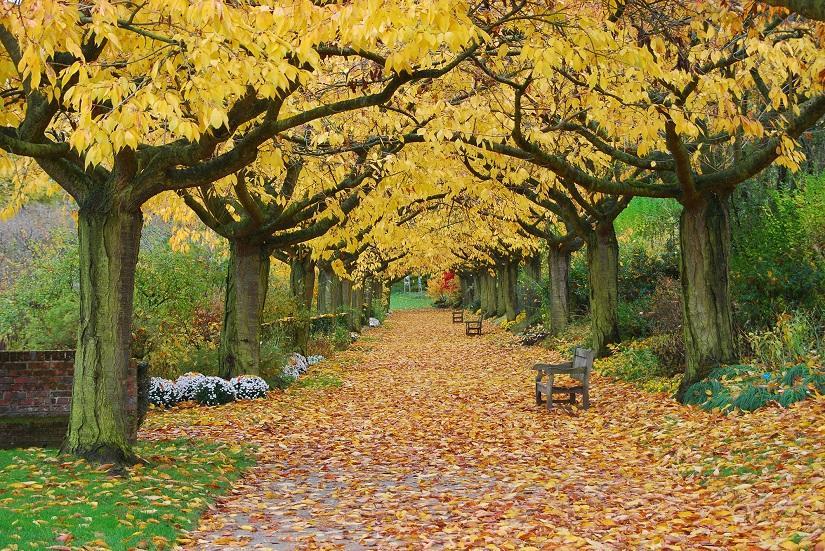 © céline verley - allée des cerisiers automne