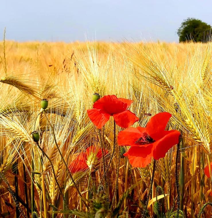 Champs de blé Pays de Parmentier