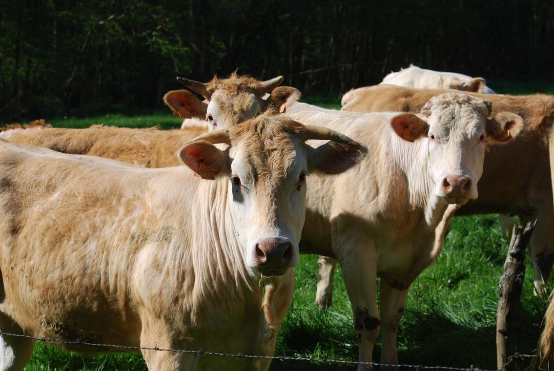 cows-2733122_1920