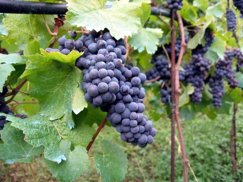 Vigne02