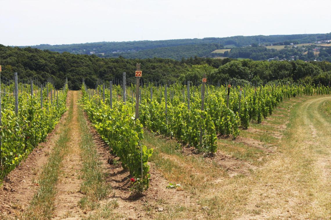 Vignoble du Domaine Vins des Cinq