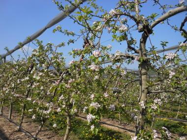 Un verger de pommiers au printemps