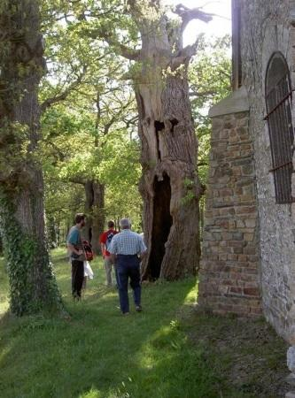 Chênes creux de la Chapelle de Kerméant - Néant sur Yvel