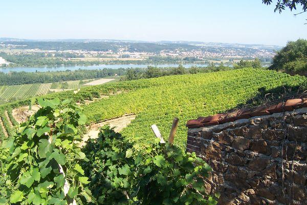 Les vignes à Cuminaille (Chavanay)