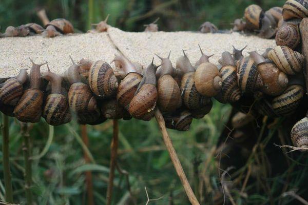 Escargot de Comper