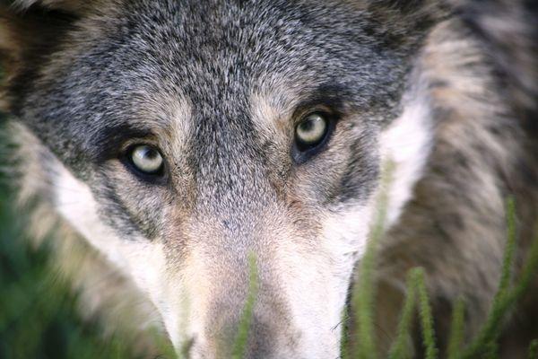 Huche Loup et Loup Pendu