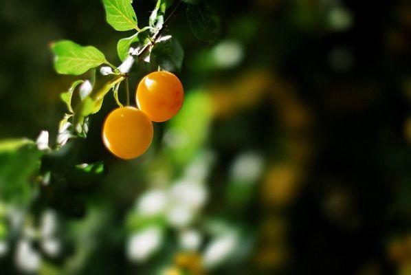 Terre Compagne -prunes myrobolan au jardin