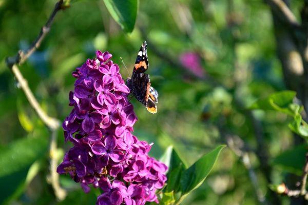 lilas-papillon-jardins-broceliande-2020