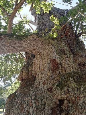 Chêne à Guillotin, Concoret, Brocéliande, Bretagne