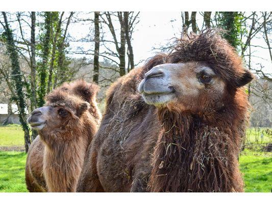 chameaux