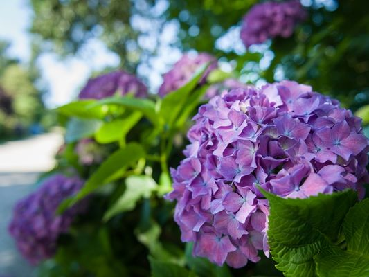 circuit des hortensias - fleurs - Ploërmel communauté - Brocéliande - Bretagne