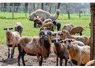 mouton- dromadaire