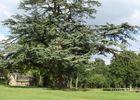 9-Cèdre dans le parc du château