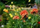 dahlias-jardins-broceliande