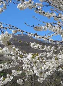 La randonnée blanche dans les cerisiers en fleurs