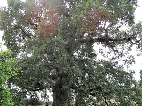 Le chêne d'Artois