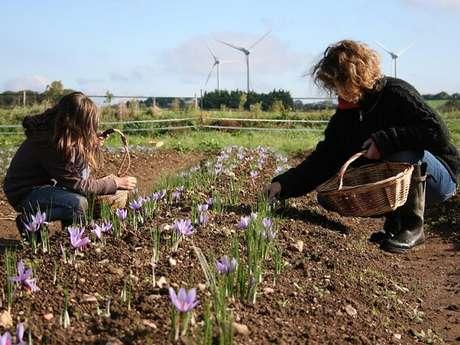 Récolte du safran 2020 : les Portes Ouvertes à ne pas rater