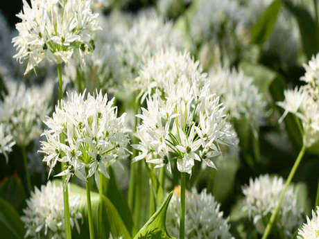 Découverte des plantes sauvages comestibles et curatives