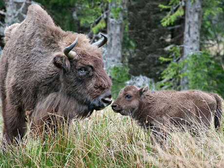 THE EUROPEAN BISON RESERVE