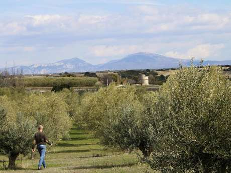 Balade nature : l'Olivier, arbre emblématique de la Méditerrannée