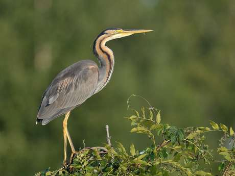 Les oiseaux de l'Herretang