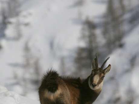 Rando raquettes : animaux des cimes - Accompagnateurs en montagne du Champsaur