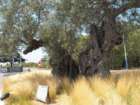L'olivier bimillénaire des Maîtres Vignerons de Gassin
