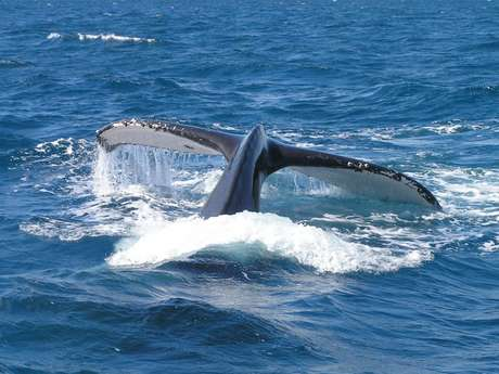 Observation des baleines en voilier en weekend - Captain Woodin