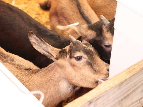 Rencontre avec les chèvres