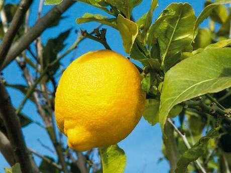 Association pour la promotion du citron de Menton